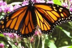 Monarch-Maraleen-Manos-Jones