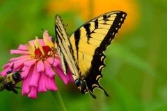 bee-butterfly-web