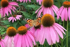 butterfly-on-echinacea-web-scaled