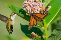 hummer-monarch-John-R.-Kelsey-960x400-web